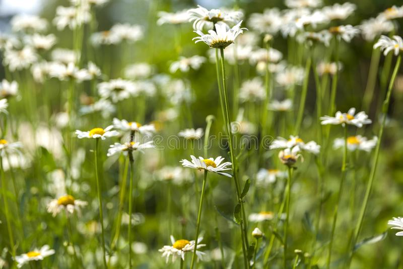 Beautiful field chamomile with beautiful bokeh 4 royalty free stock photography