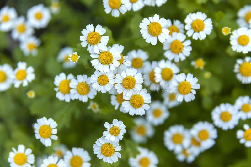 Beautiful field chamomile with beautiful bokeh 3 stock photography