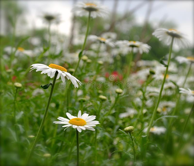 Beautiful field of Daisies in College Station, TX stock image