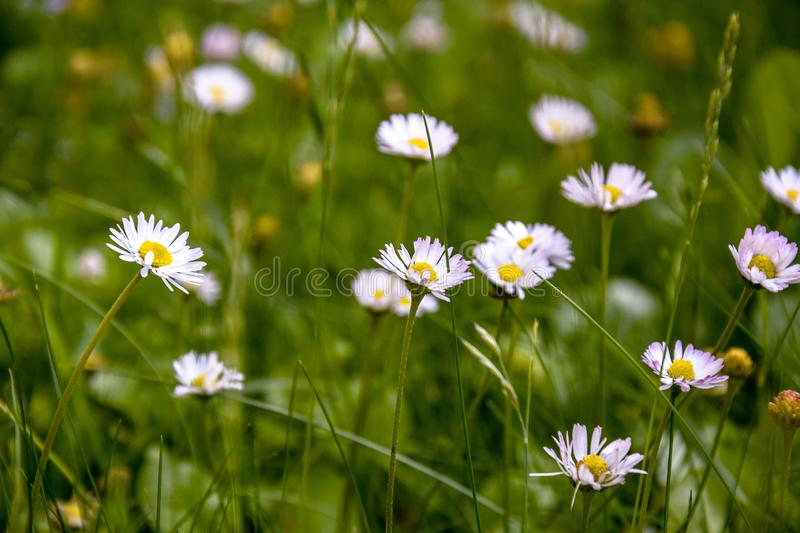 Beautiful field of daisies, summer day. Herb plants in meadow. Floral, nature. White daisies grow and smell. Chamomile background royalty free stock image