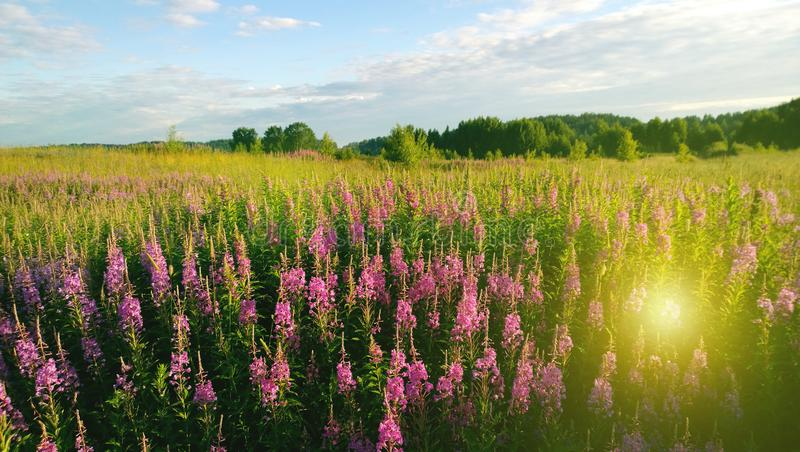 Beautiful field of flowers Ivan-tea and the sun`s rays in summer warm day stock photo