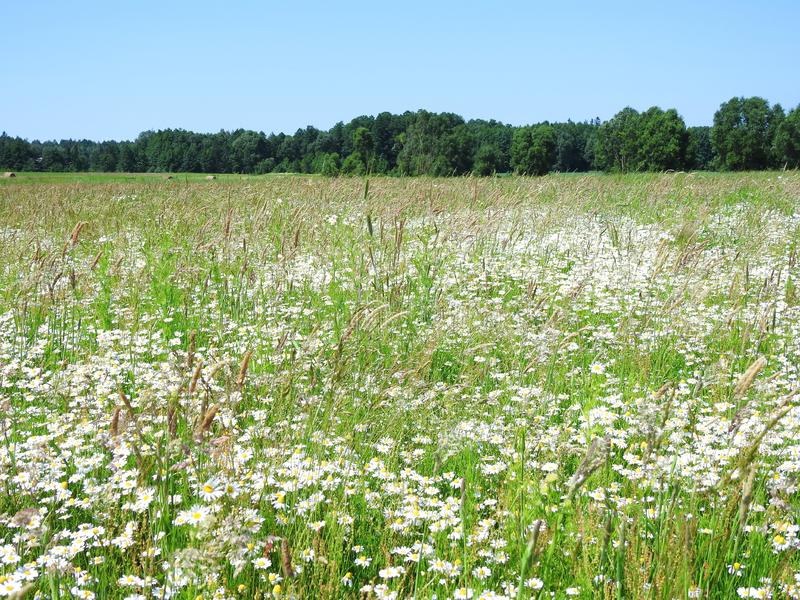 Beautiful field full blooming wild flowers, Lithuania stock images