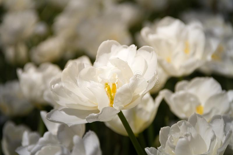 Beautiful field of fully opened white tulips royalty free stock photography