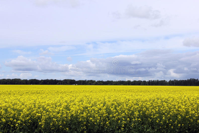 Beautiful Field of Manitoba Canola 2. A local farmer's field of bright yellow field of Canola seen growing in south Central Manitoba Canada on a sunny prairie stock photo
