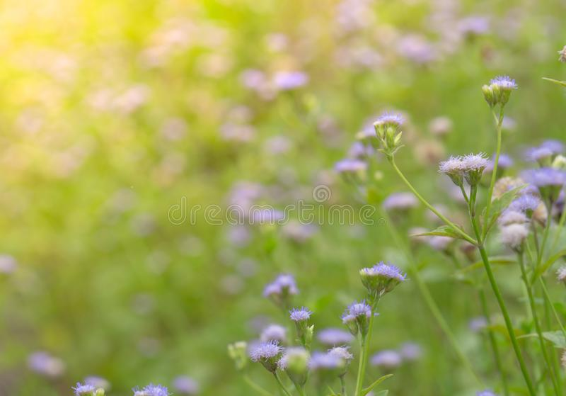 Beautiful field of purple grass flower in the garden. Background for spa and relaxing concept. Green and violet nature background stock photography