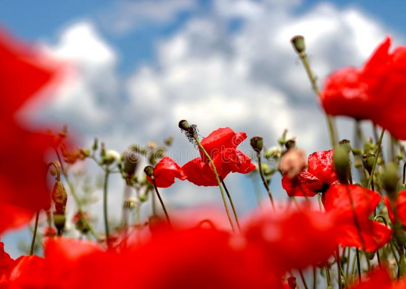 Beautiful field of red poppies. Red poppies and blue sky stock photo
