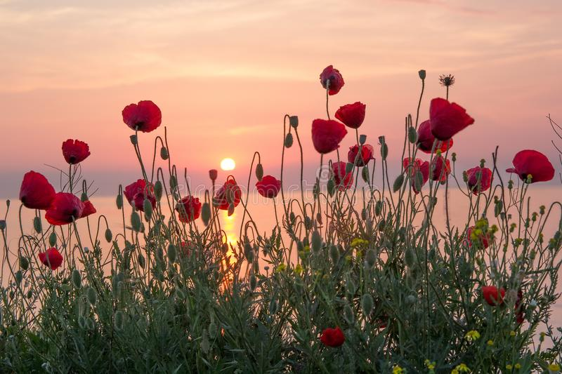 Beautiful field of red poppies in the sunrise near the sea royalty free stock photo