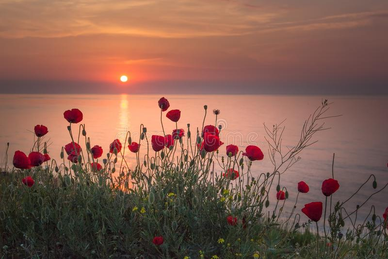 Beautiful field of red poppies in the sunrise near the sea stock image