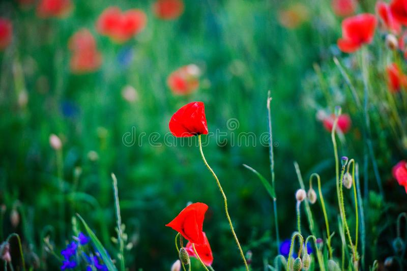 Beautiful field of red poppies in the sunset light. Agriculture, background, beauty, bloom, blossom, bright, clouds, color, colorful, countryside, flower stock photos