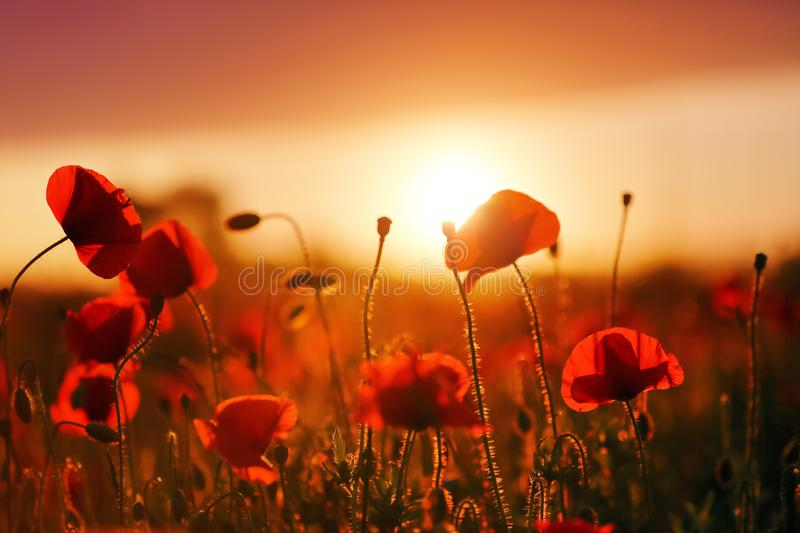 Beautiful field of red poppy. Majestic sunset lights up with the warm light the sky and the field of lush, big nice poppies. Wallpaper flowers. Amazing summer royalty free stock photo