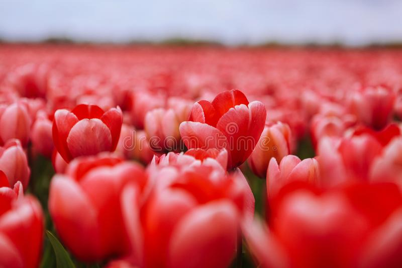 Beautiful field with red tulips in the Netherlands in spring. Blooming color tulip fields in a dutch landscape Holland stock photos