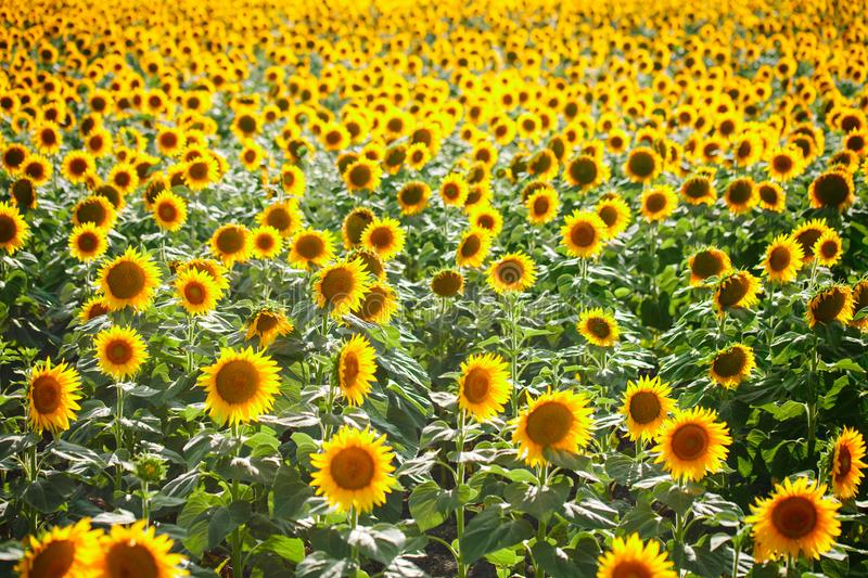 Beautiful field of sunflowers. Rural landscapes under bright sunlight. Background of ripening sunflower. Rich harvest. royalty free stock photos
