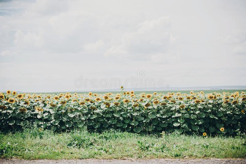 Beautiful field of sunflowers in sunny summer day near road. Farmland, agriculture. View of yellow flowers and cloudy sky. stock image
