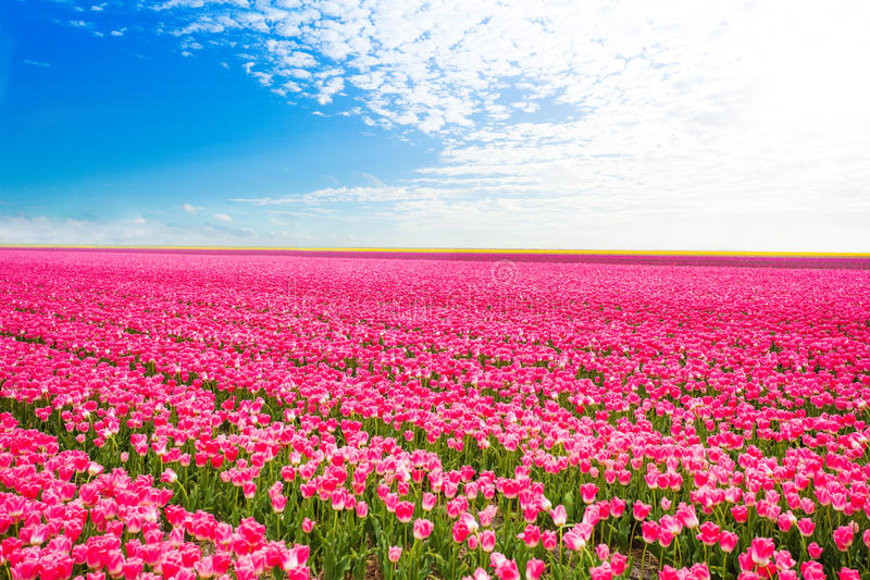 Beautiful field view of pink tulips, Netherlands royalty free stock images