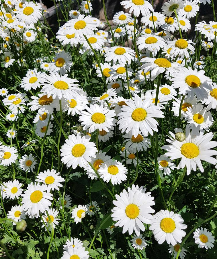 Beautiful field with white daisy flower background. Bright chamomiles or camomiles meadow stock image