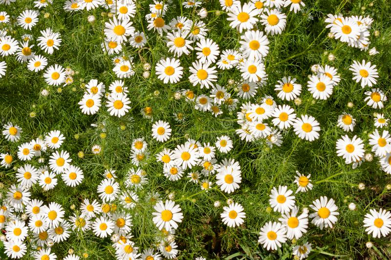 Beautiful field of wild daisies. Many colors, summer stock image