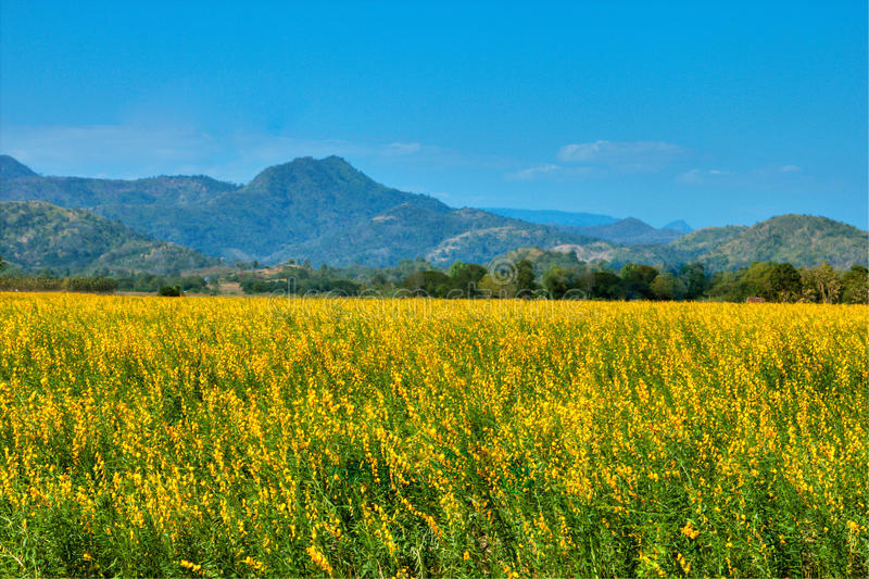 Beautiful fields yellow flowers stock photography