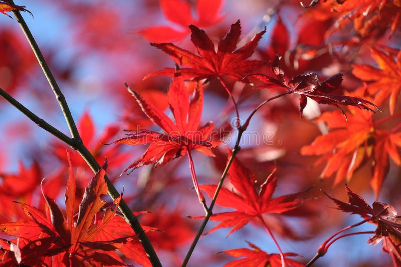 Beautiful fiery fall colour, Acer foliage royalty free stock image