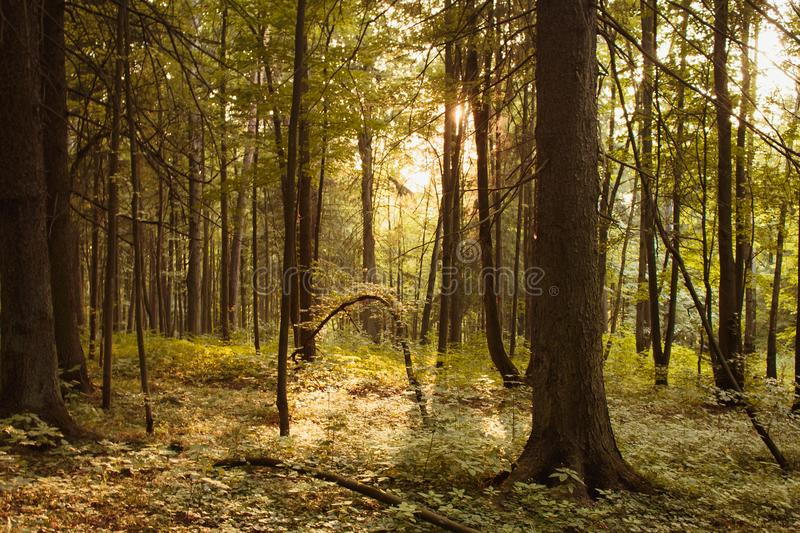 Beautiful fir forest at sunset in August royalty free stock photo