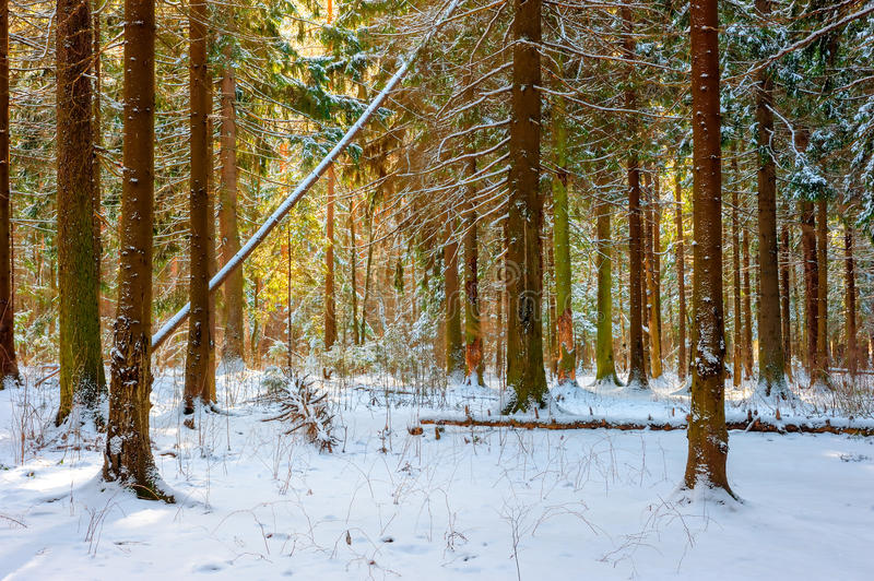 Beautiful fir forest on a winter morning royalty free stock photography