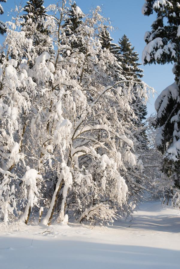 Beautiful winter forest on the background of blue sky stock photography