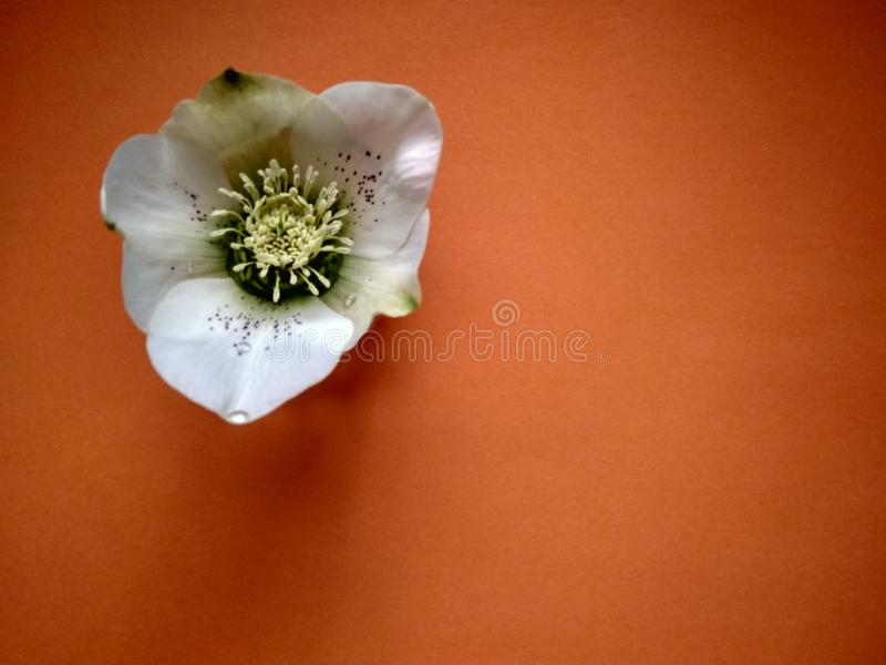 Beautiful first spring flower hellebore on orange close up stock photos