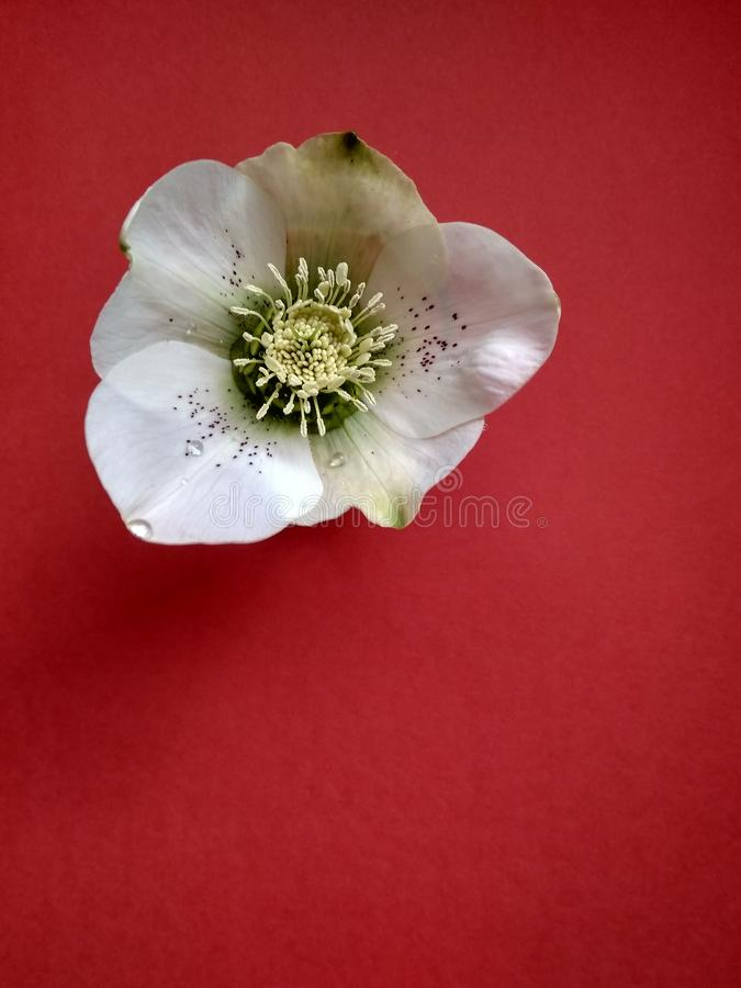 Beautiful first spring flower hellebore on red close up royalty free stock photo