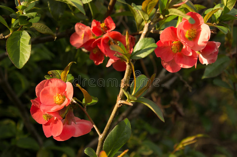 Beautiful first spring flowers quince. stock photos