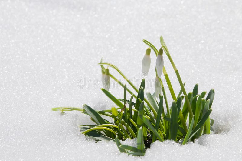 Beautiful first spring flowers snowdrops appeared from under the royalty free stock photos