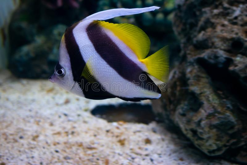 Beautiful fish in the aquarium on decoration of aquatic plants b royalty free stock photos