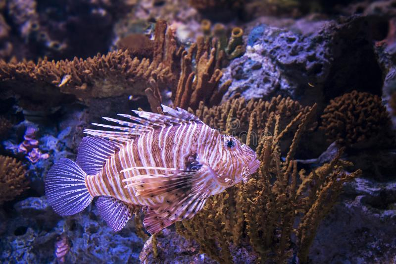 Beautiful fish Lionfish, she is a lion fish, lives in the Red Sea stock photos