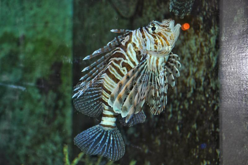 Lionfish - Devil fish. Devil fish, also known as the Devil firefish or common lionfish royalty free stock photography