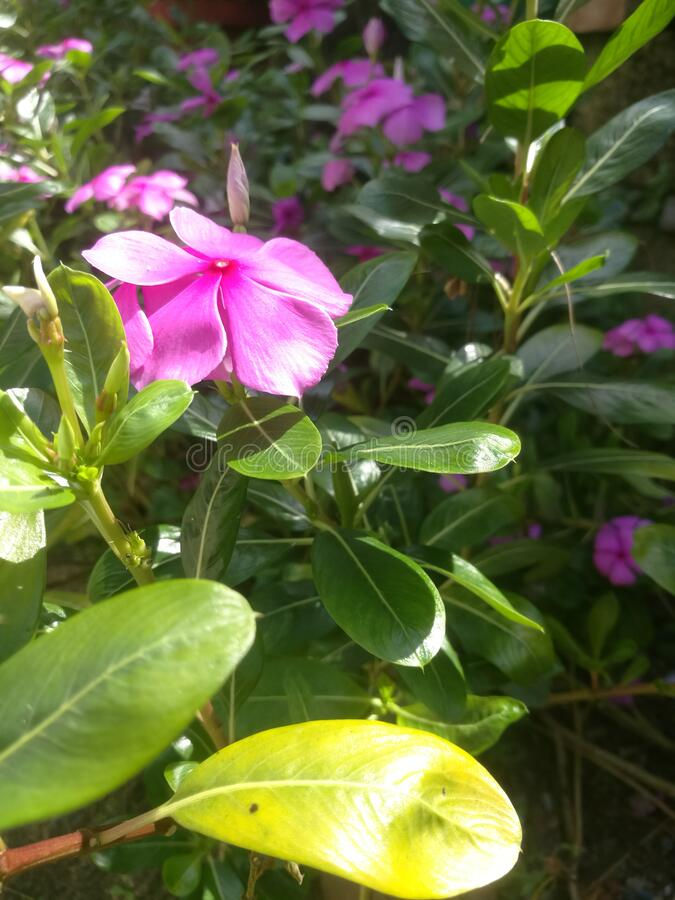 A Beautiful five petaled pink flower in kerala. A Beautiful pink colored flower seen in kerala with five petals.The petals have pink color and a red dot at its stock image