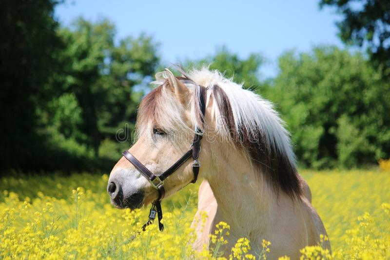Fjord horse portrait in a seed field. Beautiful fjord horse head portrait in the seed field stock photos
