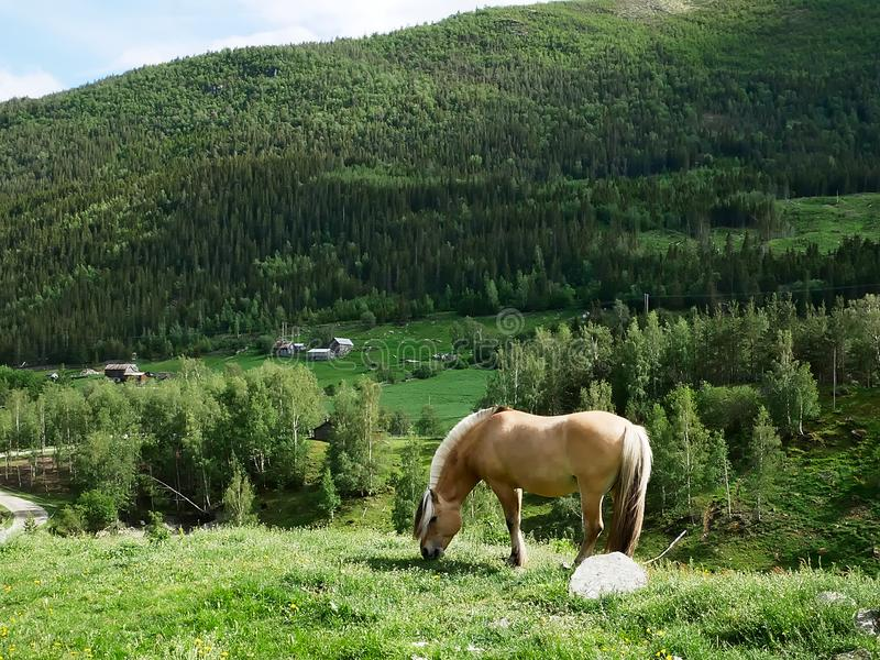 Beautiful fjord horse mare grazing on green grass in mountainside pasture stock image