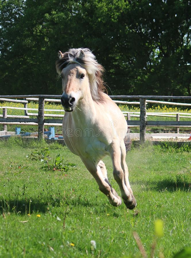 Beautiful running fjord horse stock photo