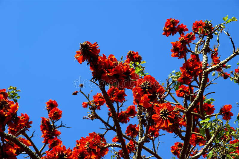 Beautiful Flamboyant tree (Royal Poinciana or Delonix regia ) stock image