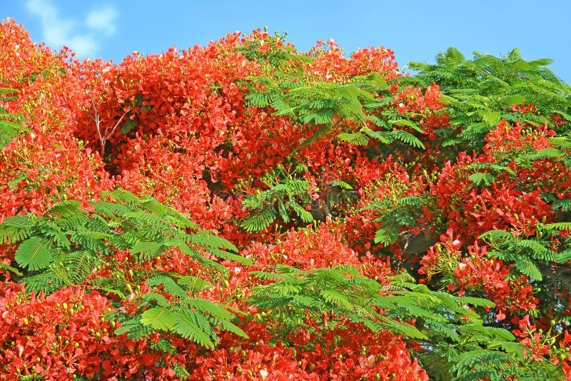 Beautiful Flame tree delonix regia flowers stock photo