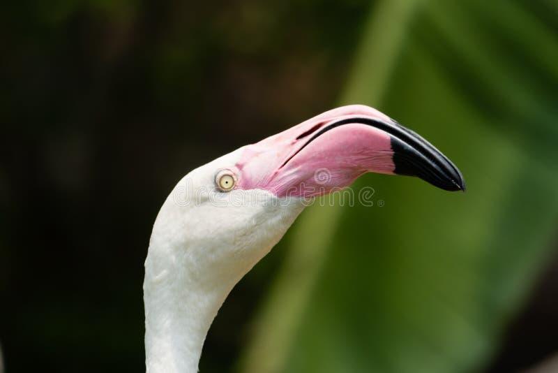 Beautiful Flamingo Face. Close up beautiful flamingo face stock image