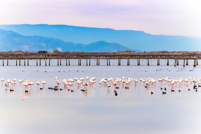 Beautiful flamingo group in the water in Delta del Ebro, Catalunya, Spain. Copy space for text. Beautiful flamingo group in the water in Delta del Ebro royalty free stock image