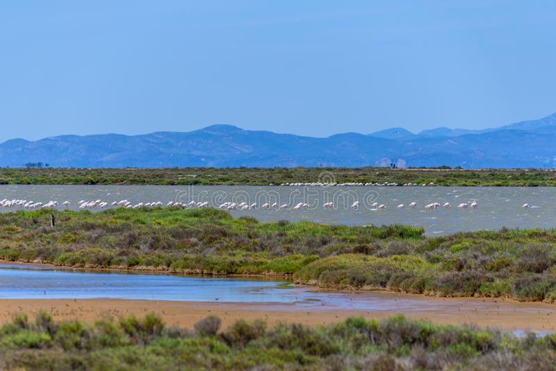 Beautiful flamingo group in the water in Delta del Ebro, Catalunya, Spain. Copy space for text.  stock photo