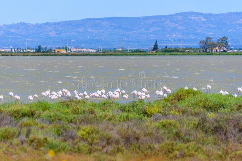 Beautiful flamingo group in the water in Delta del Ebro, Catalunya, Spain. Copy space for text.  stock photos