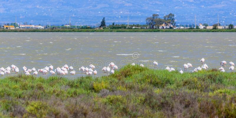 Beautiful flamingo group in the water in Delta del Ebro, Catalunya, Spain. Copy space for text.  royalty free stock photo