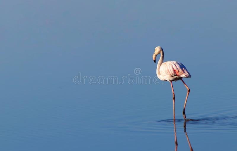 Beautiful flamingos walking around the lagoon and looking for foo. Beautiful african flamingos walking around the lagoon and looking for food vector illustration