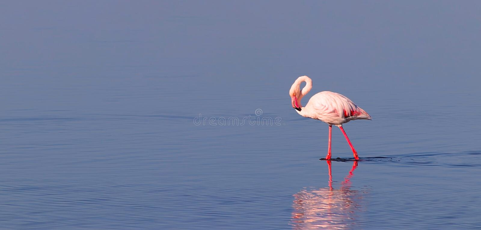 Beautiful flamingos walking around the lagoon and looking for foo. Beautiful african flamingos walking around the lagoon and looking for food royalty free illustration