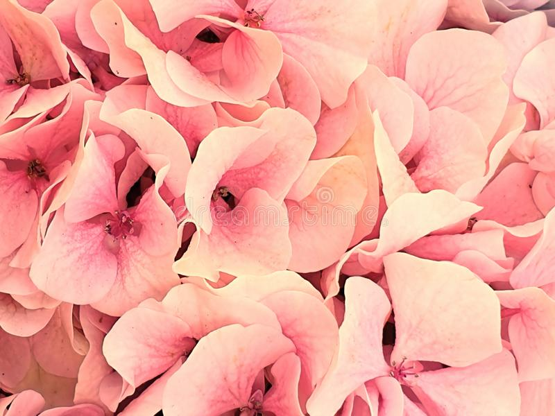 Hydrangea pink lilac beautiful flower  nature plant floral background stock photos