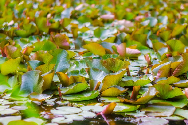 Abstract tropical water lilies leaves background. Beautiful floral background of water lilies leaves in wild nature. Abstract tropical leaves background royalty free stock photos