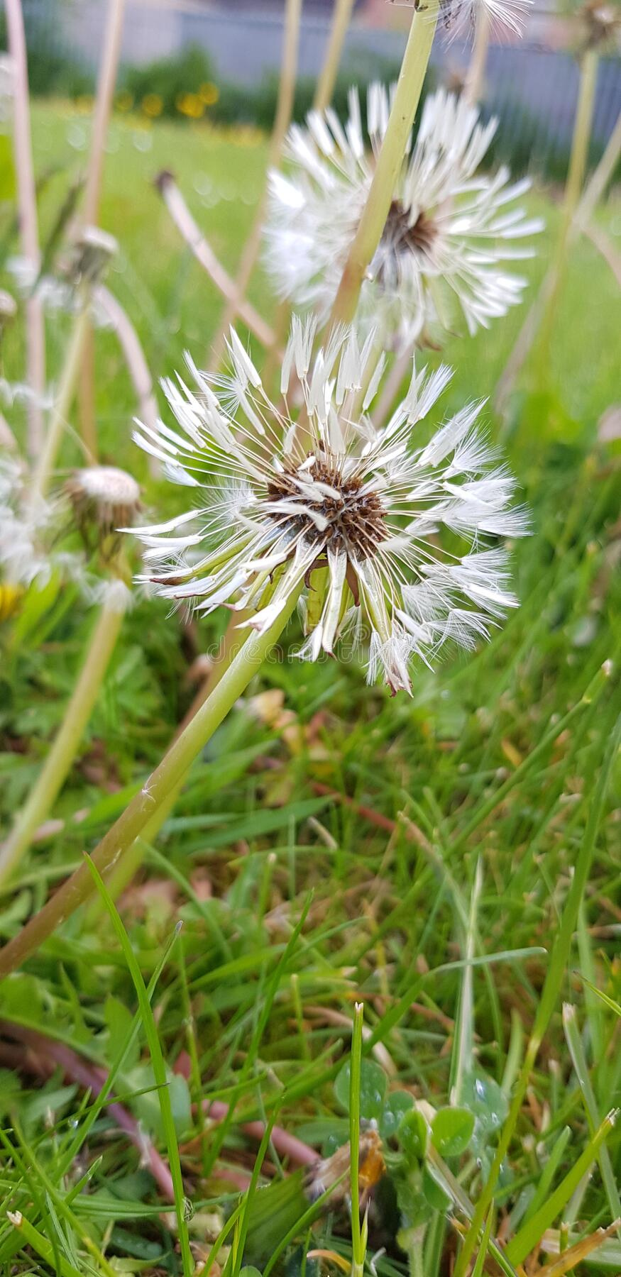 Beautiful floral botanical close up image of a flower in superb detail dandelion grass stock images