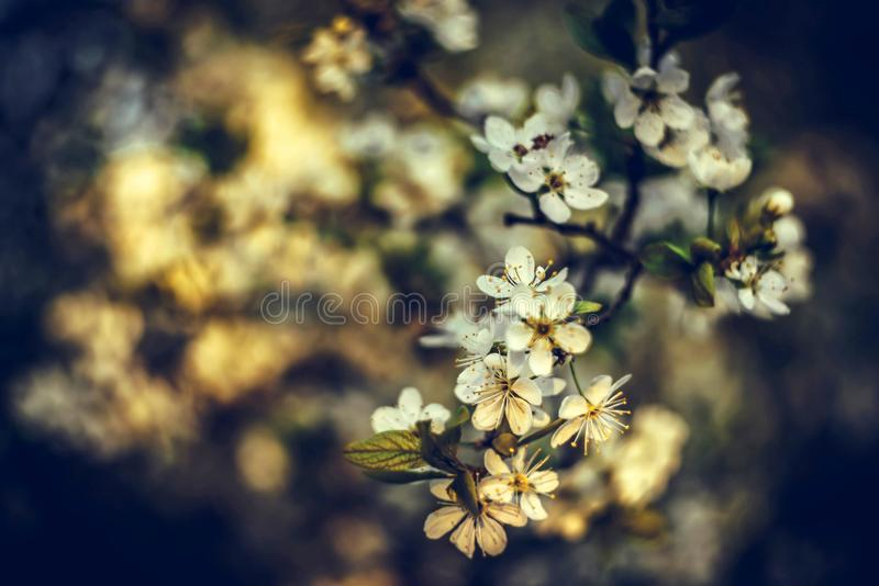 Beautiful floral spring abstract background. Branches of blossoming apricot macro with soft focus nature background stock images