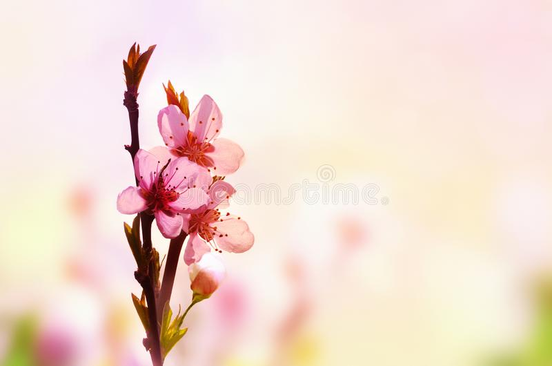 Beautiful floral spring abstract background of nature. Branch of blossoming peach on light pink sky background. For easter and stock photos